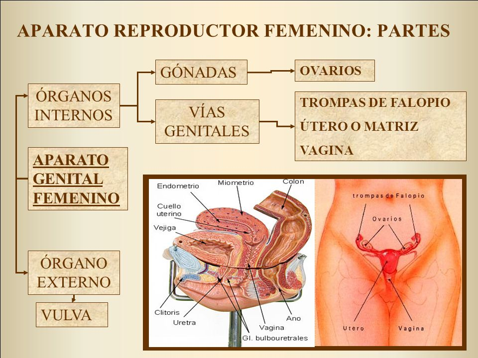 APARATO REPRODUCTOR FEMENINO: PARTES GÓNADAS VÍAS GENITALES ÓRGANOS INTERNOS ÓRGANO EXTERNO OVARIOS TROMPAS DE FALOPIO ÚTERO O MATRIZ VAGINA APARATO GENITAL FEMENINO VULVA