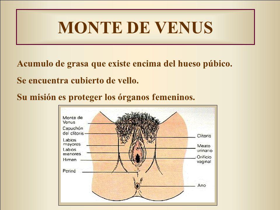 MONTE DE VENUS Acumulo de grasa que existe encima del hueso púbico. Se encuentra cubierto de vello. Su misión es proteger los órganos femeninos.