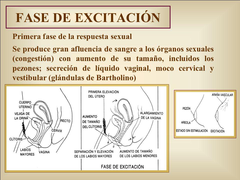 FASE DE EXCITACIÓN Primera fase de la respuesta sexual Se produce gran afluencia de sangre a los órganos sexuales (congestión) con aumento de su tamaño, incluidos los pezones; secreción de líquido vaginal, moco cervical y vestibular (glándulas de Bartholino)