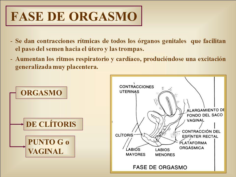 FASE DE ORGASMO -Se dan contracciones rítmicas de todos los órganos genitales que facilitan el paso del semen hacia el útero y las trompas. -Aumentan