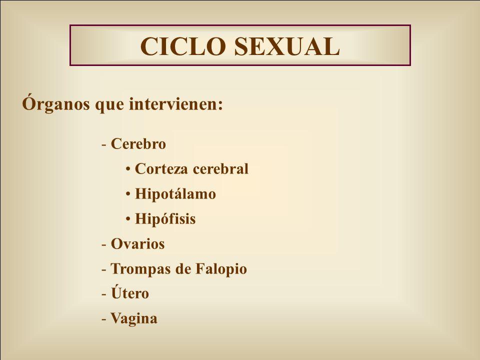 CICLO SEXUAL Órganos que intervienen: - Cerebro Corteza cerebral Hipotálamo Hipófisis - Ovarios - Trompas de Falopio - Útero - Vagina