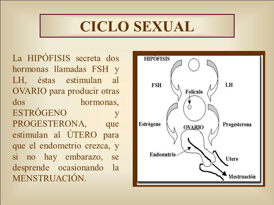 CICLO SEXUAL La HIPÓFISIS secreta dos hormonas llamadas FSH y LH, éstas estimulan al OVARIO para producir otras dos hormonas, ESTRÓGENO y PROGESTERONA, que estimulan al ÚTERO para que el endometrio crezca, y si no hay embarazo, se desprende ocasionando la MENSTRUACIÓN.