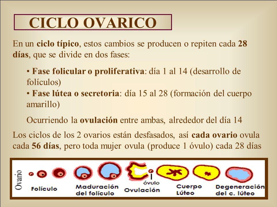 CICLO OVARICO En un ciclo típico, estos cambios se producen o repiten cada 28 días, que se divide en dos fases: Fase folicular o proliferativa: día 1 al 14 (desarrollo de folículos) Fase lútea o secretoria: día 15 al 28 (formación del cuerpo amarillo) Ocurriendo la ovulación entre ambas, alrededor del día 14 Los ciclos de los 2 ovarios están desfasados, así cada ovario ovula cada 56 días, pero toda mujer ovula (produce 1 óvulo) cada 28 días