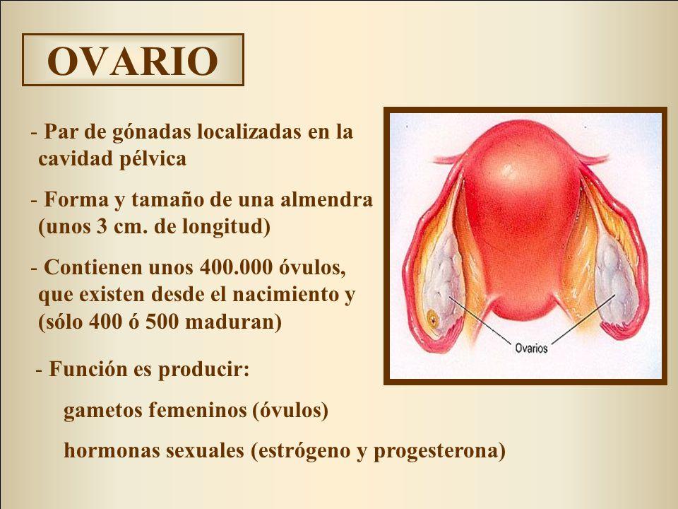 OVARIO - Par de gónadas localizadas en la cavidad pélvica - Forma y tamaño de una almendra (unos 3 cm. de longitud) - Contienen unos 400.000 óvulos, q