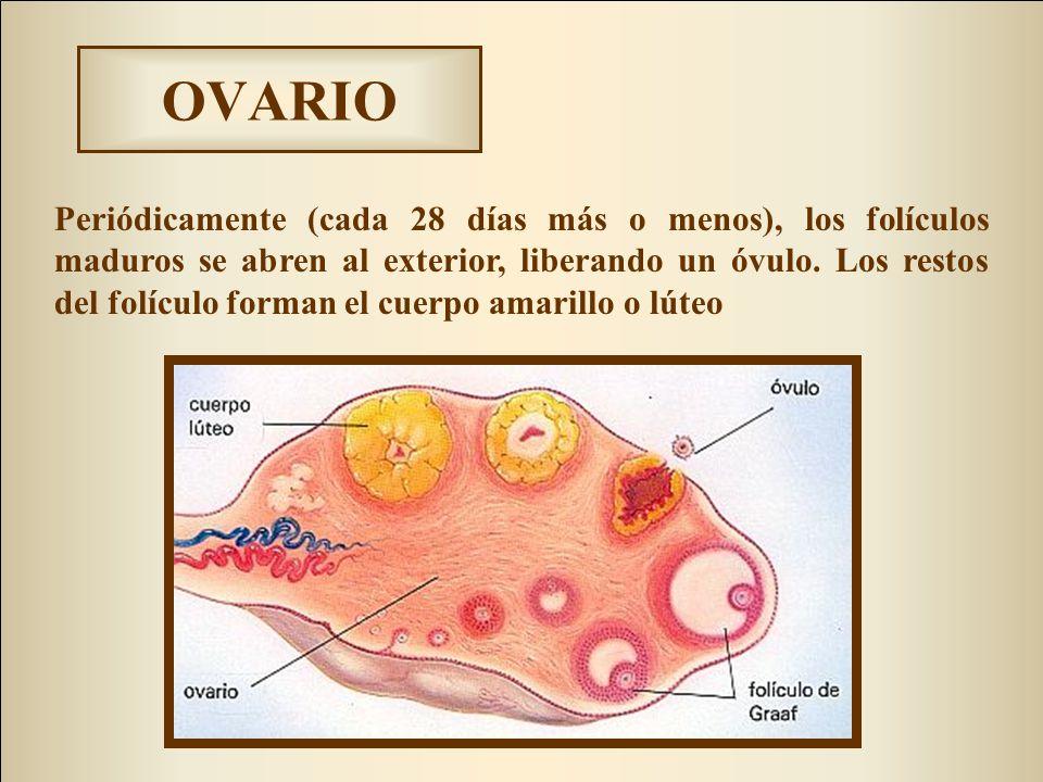 OVARIO Periódicamente (cada 28 días más o menos), los folículos maduros se abren al exterior, liberando un óvulo. Los restos del folículo forman el cu