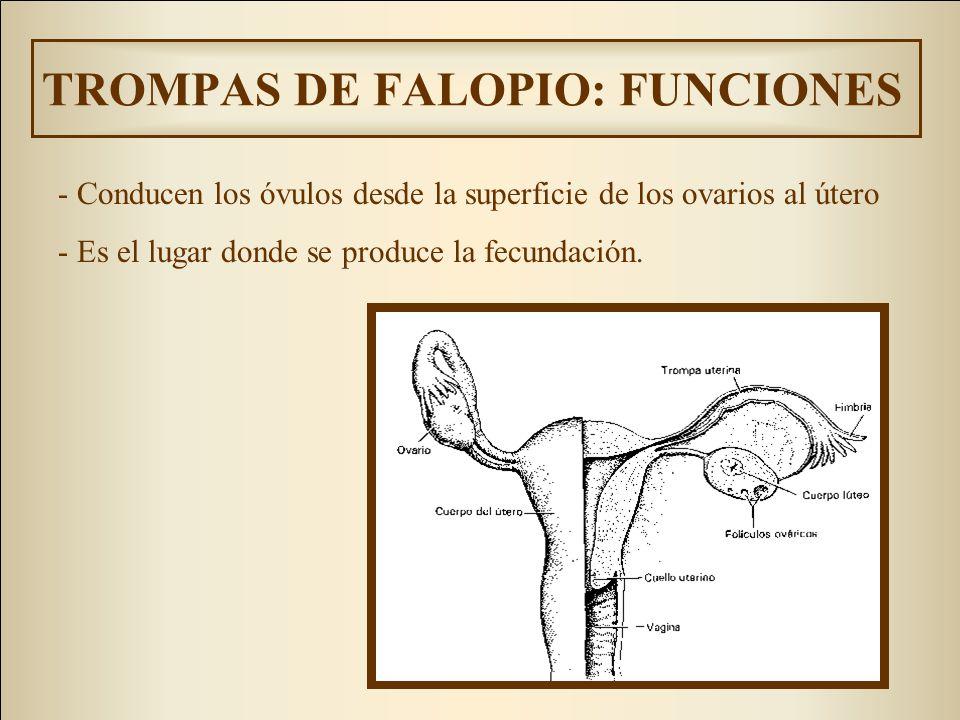 TROMPAS DE FALOPIO: FUNCIONES - Conducen los óvulos desde la superficie de los ovarios al útero - Es el lugar donde se produce la fecundación.