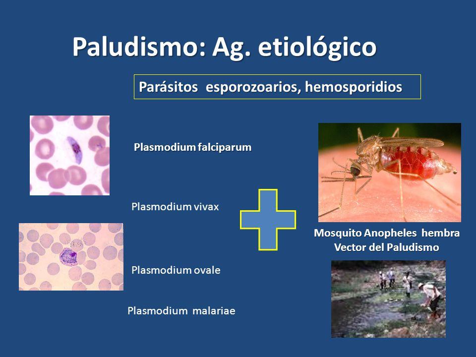 Mosquito Anopheles hembra Vector del Paludismo Plasmodium falciparum Paludismo: Ag. etiológico Parásitos esporozoarios, hemosporidios Plasmodium vivax