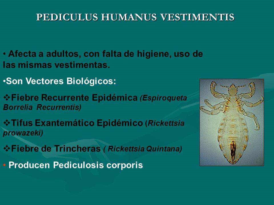 PEDICULUS HUMANUS VESTIMENTIS Afecta a adultos, con falta de higiene, uso de las mismas vestimentas.