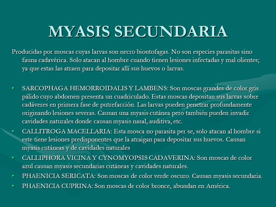 MYASIS SECUNDARIA Producidas por moscas cuyas larvas son necro biontofagas. No son especies parasitas sino fauna cadavérica. Solo atacan al hombre cua