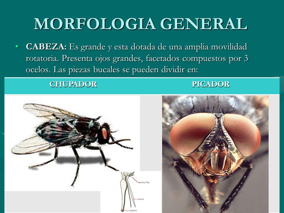 MORFOLOGIA GENERAL CABEZA: Es grande y esta dotada de una amplia movilidad rotatoria. Presenta ojos grandes, facetados compuestos por 3 ocelos. Las pi