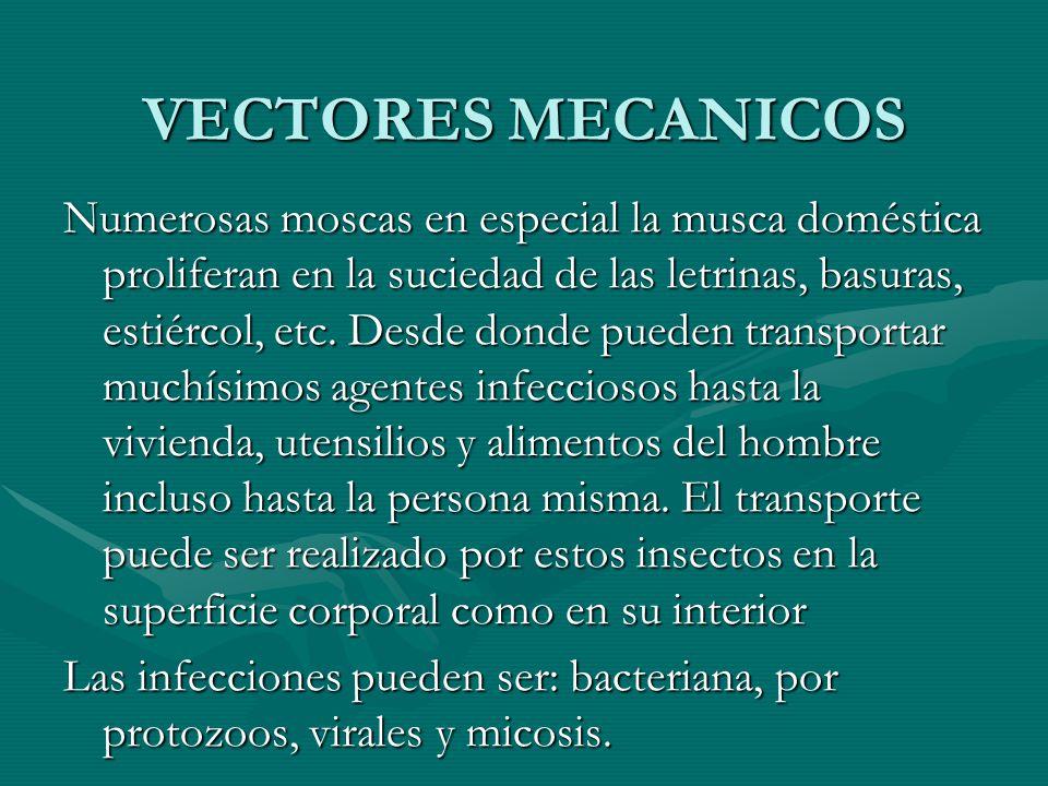 VECTORES MECANICOS Numerosas moscas en especial la musca doméstica proliferan en la suciedad de las letrinas, basuras, estiércol, etc. Desde donde pue