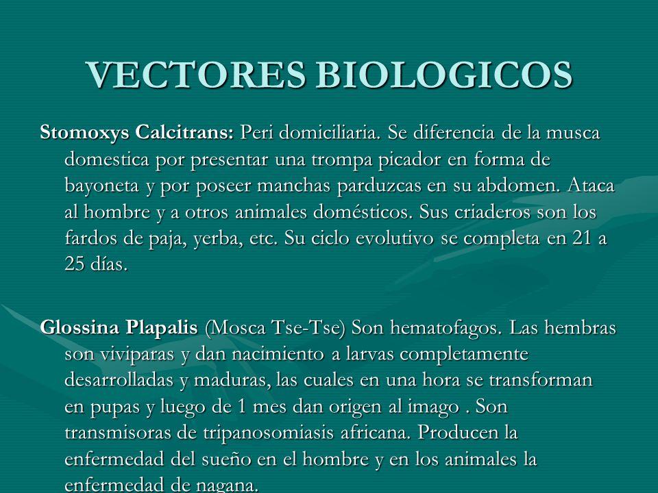 VECTORES BIOLOGICOS Stomoxys Calcitrans: Peri domiciliaria. Se diferencia de la musca domestica por presentar una trompa picador en forma de bayoneta
