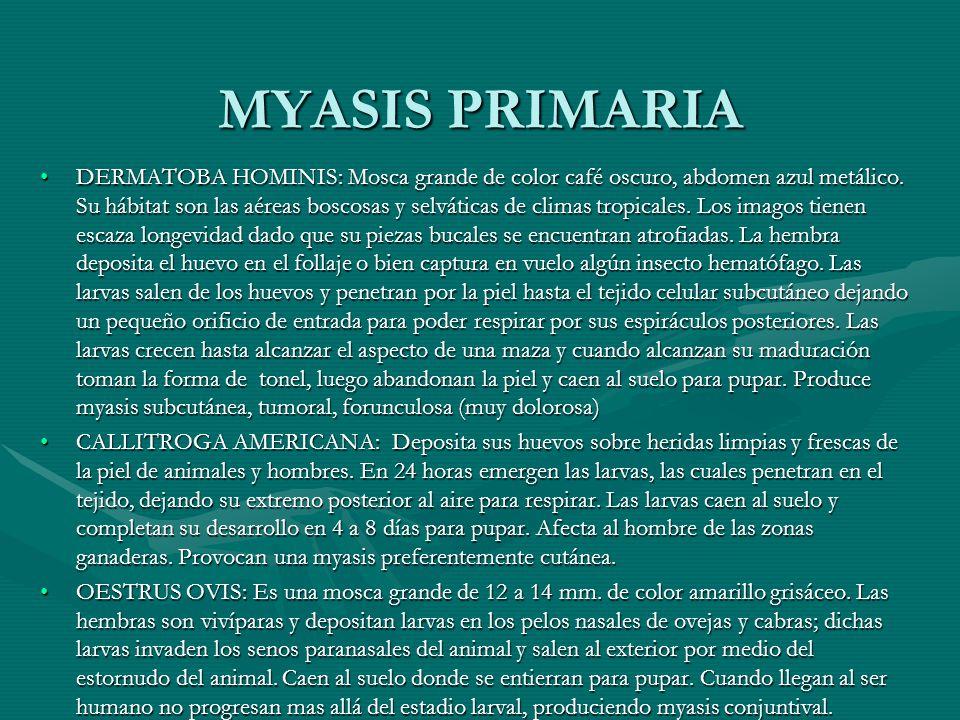 MYASIS PRIMARIA DERMATOBA HOMINIS: Mosca grande de color café oscuro, abdomen azul metálico. Su hábitat son las aéreas boscosas y selváticas de climas
