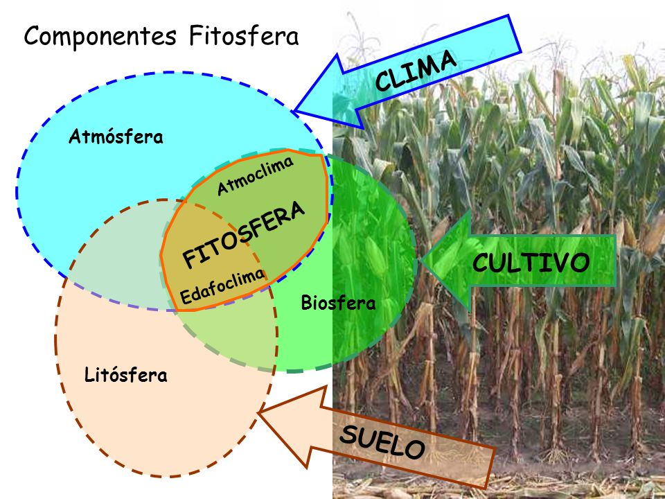 Componentes Fitosfera CULTIVO Biosfera CLIMA Atmósfera SUELO Litósfera Atmoclima Edafoclima FITOSFERA
