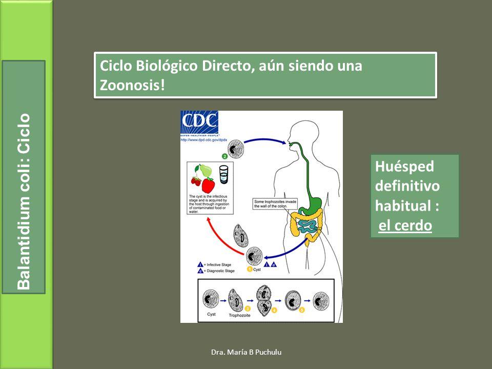 Ciclo Biológico Directo, aún siendo una Zoonosis! Balantidium coli: Ciclo Huésped definitivo habitual : el cerdo Dra. María B Puchulu