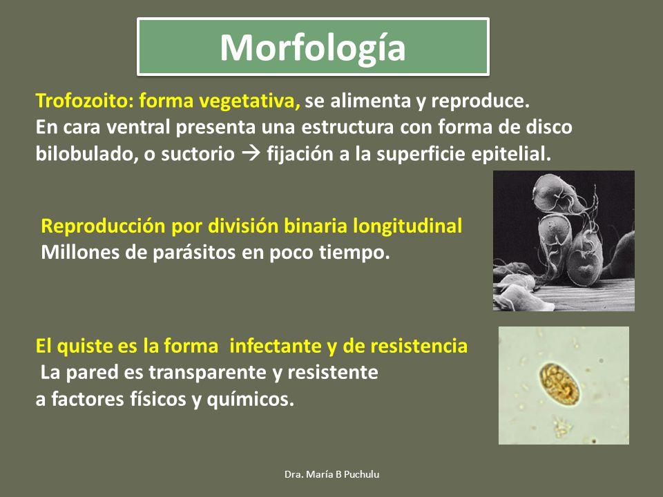 Trofozoito: forma vegetativa, se alimenta y reproduce. En cara ventral presenta una estructura con forma de disco bilobulado, o suctorio fijación a la
