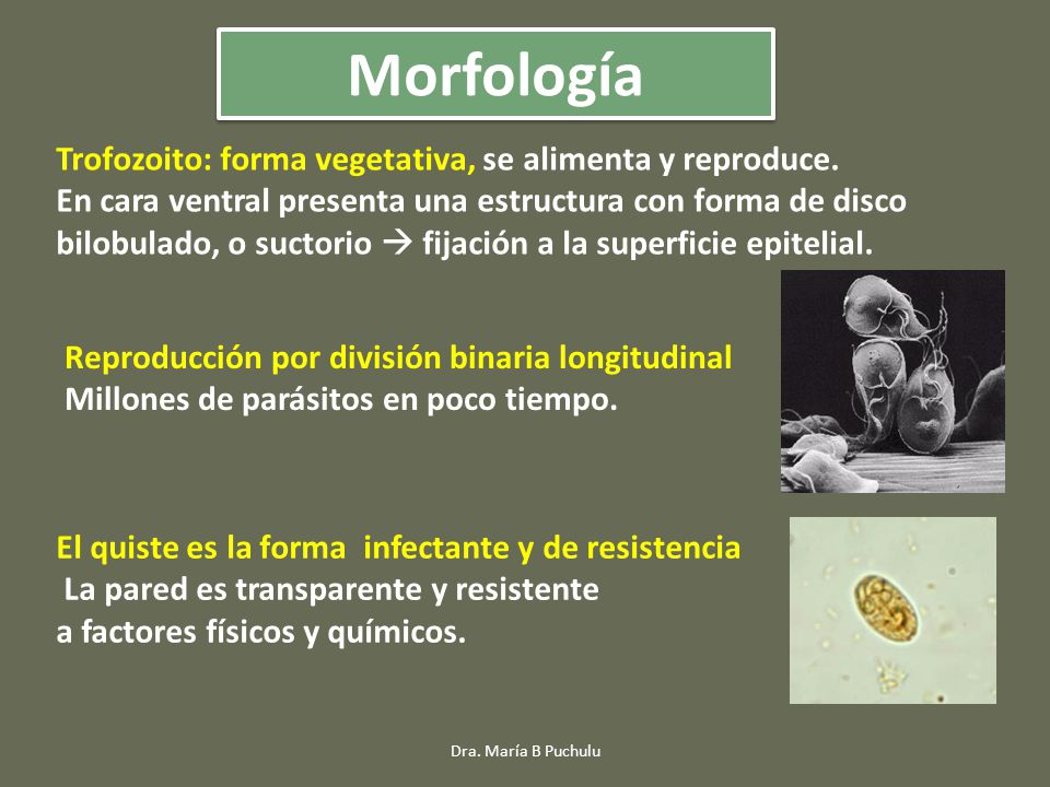 Trofozoito: forma vegetativa, se alimenta y reproduce.
