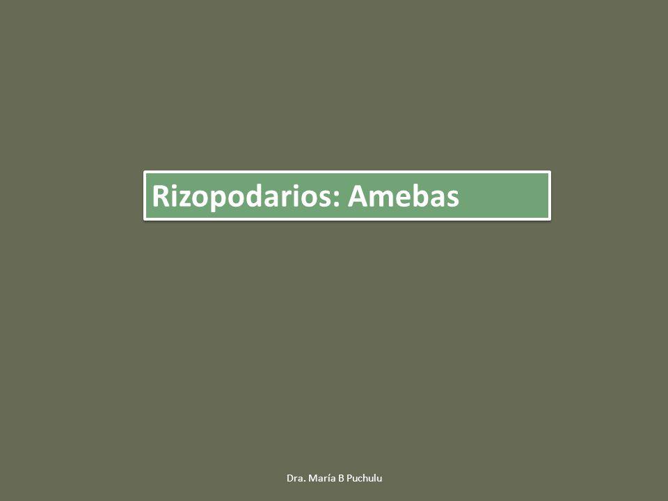 Rizopodarios: Amebas Dra. María B Puchulu