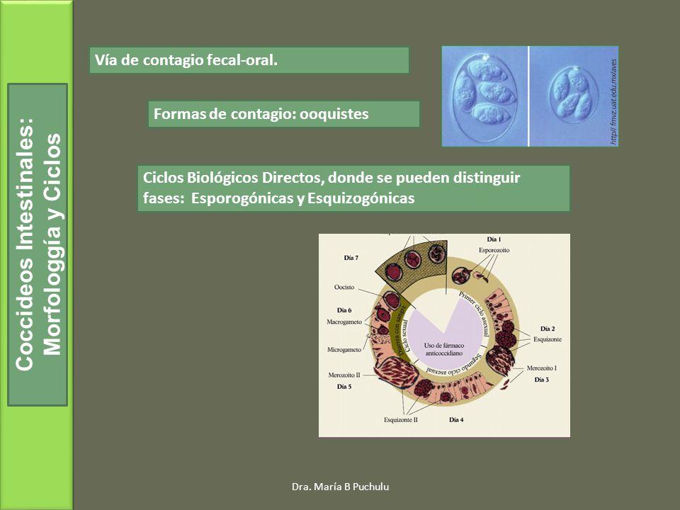Dra. María B Puchulu Coccideos Intestinales: Morfologgía y Ciclos Vía de contagio fecal-oral. Formas de contagio: ooquistes Ciclos Biológicos Directos