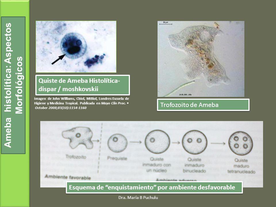 n engl j med348;16www.nejm.org april17, 2003 Se ingiere el quiste, tetranucleado, la cubierta de quitina se reblandece, se dividen, producen ocho trofozoítos que migran hacia el intestino grueso Se ingiere el quiste, tetranucleado, la cubierta de quitina se reblandece, se dividen, producen ocho trofozoítos que migran hacia el intestino grueso Ameba histolítica: Ciclo de Vida Ciclo Biológico Dra.