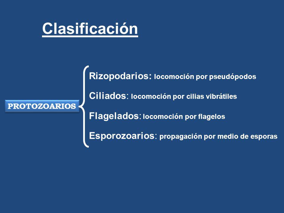 PROTOZOARIOS Rizopodarios: locomoción por pseudópodos Ciliados: locomoción por cilias vibrátiles Flagelados: locomoción por flagelos Esporozoarios: pr