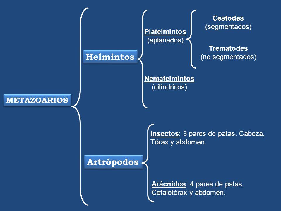 METAZOARIOS Helmintos Platelmintos (aplanados) Nematelmintos (cilíndricos) Cestodes (segmentados) Trematodes (no segmentados) Artrópodos Insectos: 3 p