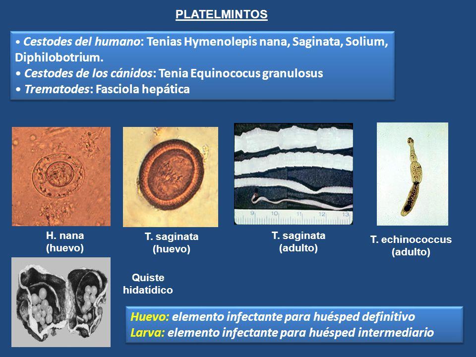 PLATELMINTOS Cestodes del humano: Tenias Hymenolepis nana, Saginata, Solium, Diphilobotrium. Cestodes de los cánidos: Tenia Equinococus granulosus Tre