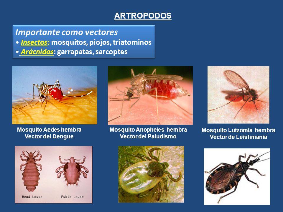 ARTROPODOS Importante como vectores Insectos: mosquitos, piojos, triatominos Arácnidos: garrapatas, sarcoptes Importante como vectores Insectos: mosqu