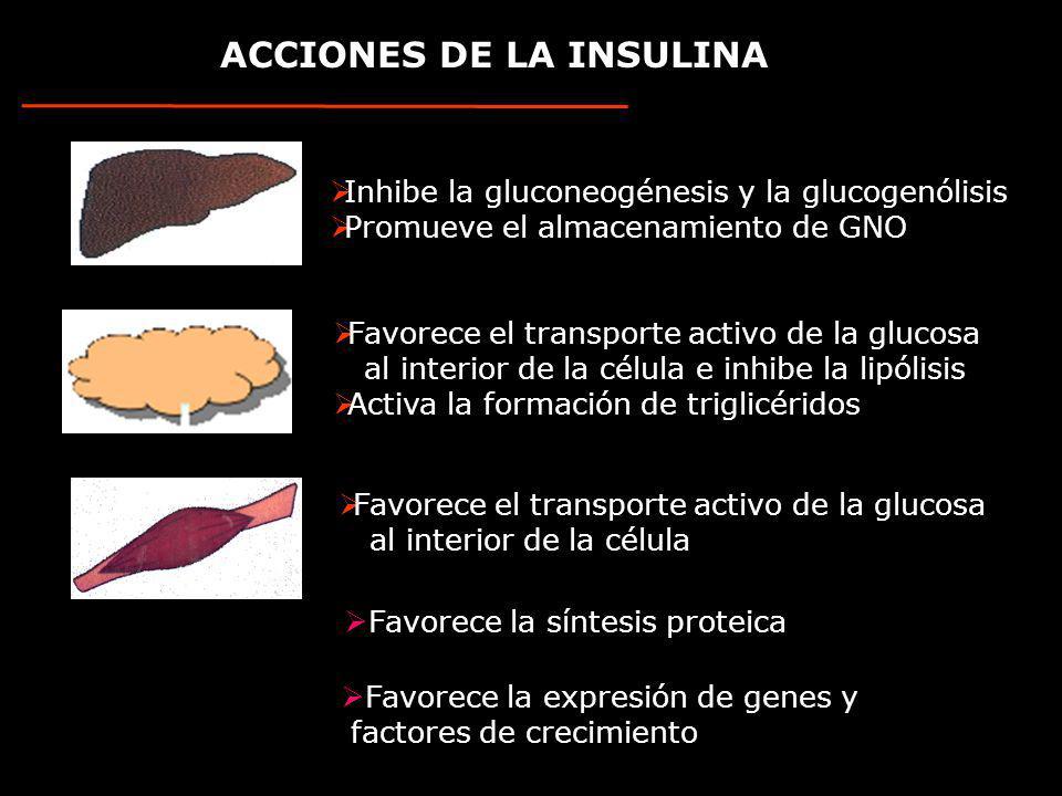 ACCIONES DE LA INSULINA Inhibe la gluconeogénesis y la glucogenólisis Promueve el almacenamiento de GNO Favorece el transporte activo de la glucosa al interior de la célula e inhibe la lipólisis Activa la formación de triglicéridos Favorece el transporte activo de la glucosa al interior de la célula Favorece la síntesis proteica Favorece la expresión de genes y factores de crecimiento