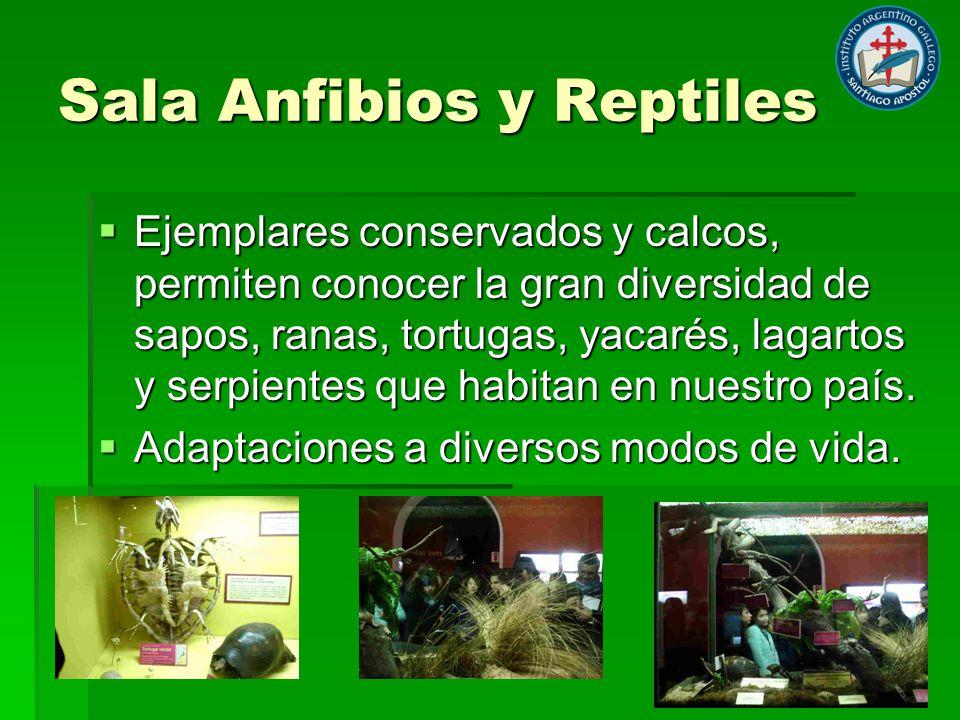 Sala Anfibios y Reptiles Ejemplares conservados y calcos, permiten conocer la gran diversidad de sapos, ranas, tortugas, yacarés, lagartos y serpientes que habitan en nuestro país.