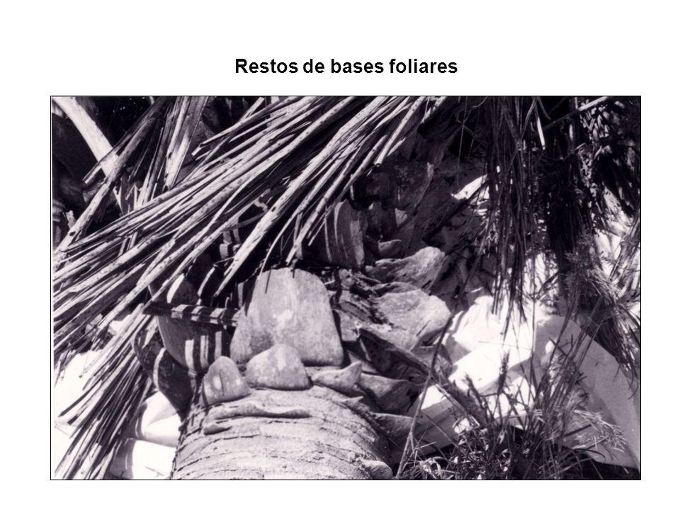 Restos de bases foliares