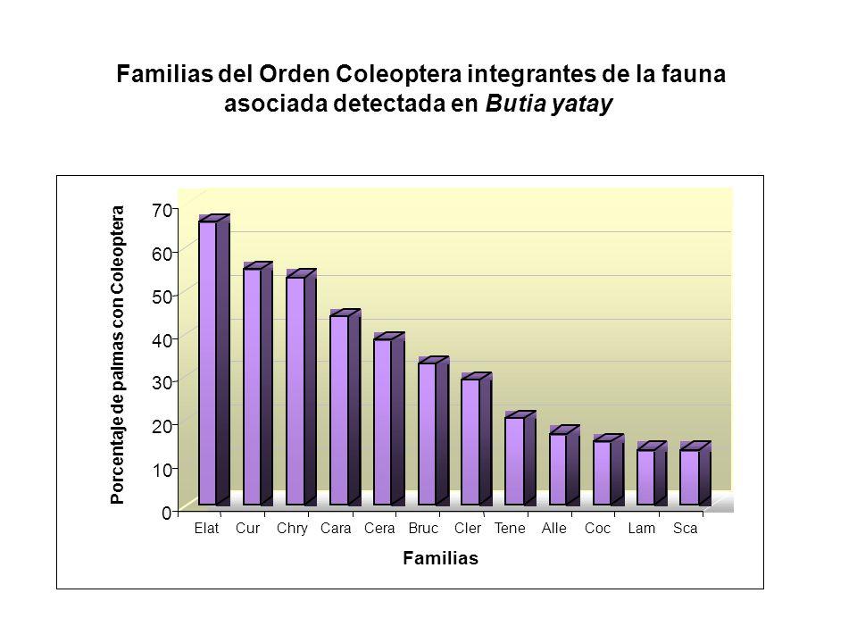 0 10 20 30 40 50 60 70 Porcentaje de palmas con Coleoptera ElatCurChryCaraCeraBrucClerTeneAlleCocLamSca Familias Familias del Orden Coleoptera integra