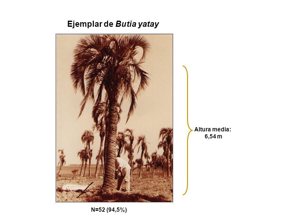 Ejemplar de Butia yatay Altura media: 6,54 m N=52 (94,5%)