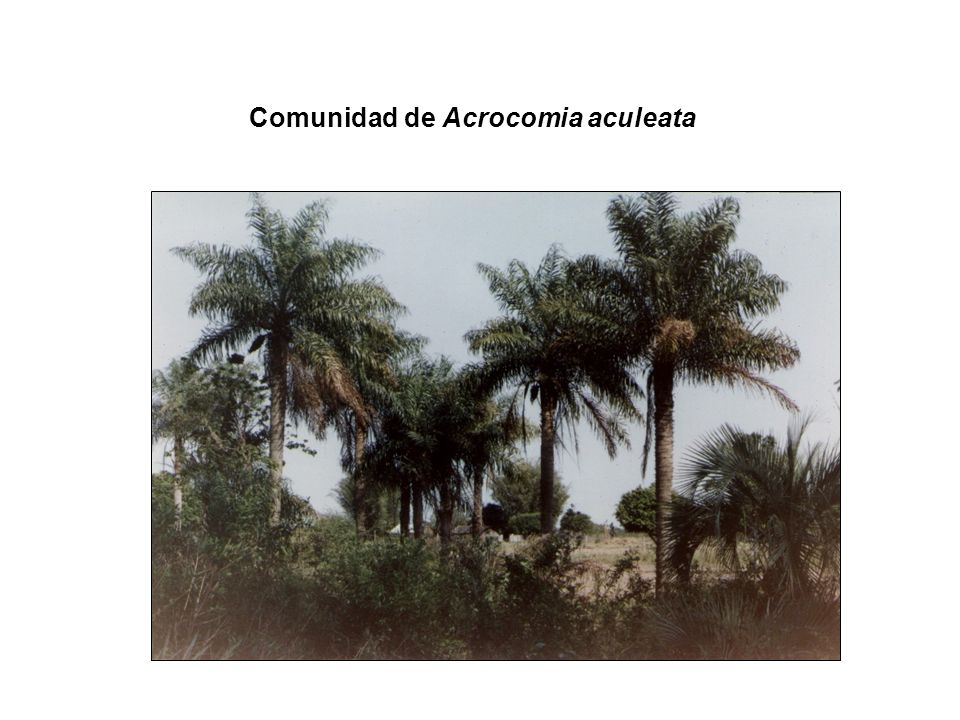 Comunidad de Acrocomia aculeata