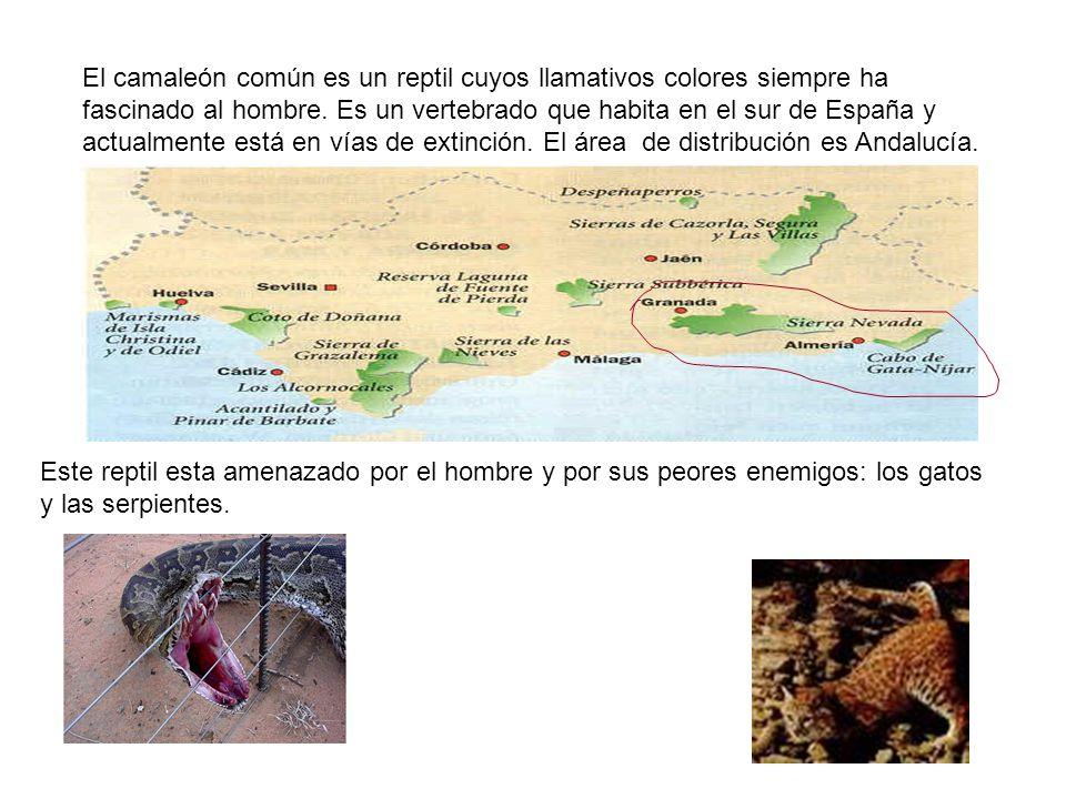 El camaleón común es un reptil cuyos llamativos colores siempre ha fascinado al hombre. Es un vertebrado que habita en el sur de España y actualmente