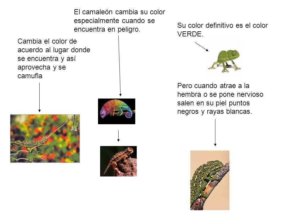 El camaleón cambia su color especialmente cuando se encuentra en peligro. Cambia el color de acuerdo al lugar donde se encuentra y así aprovecha y se