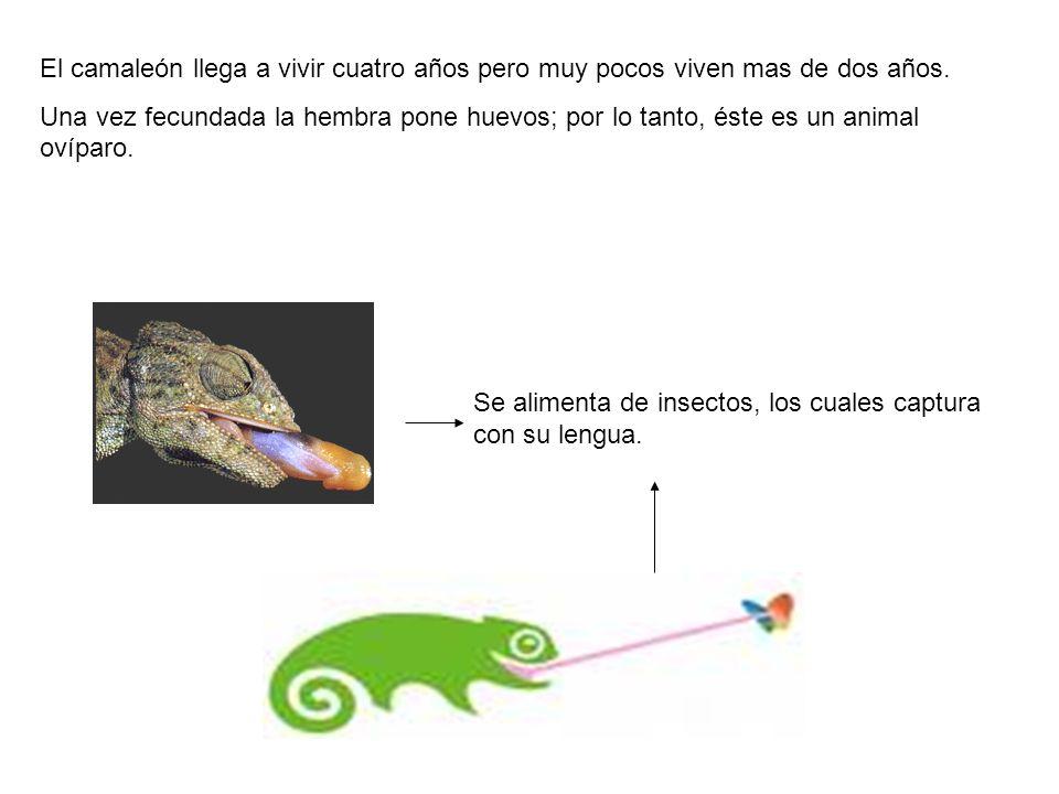 El camaleón llega a vivir cuatro años pero muy pocos viven mas de dos años. Una vez fecundada la hembra pone huevos; por lo tanto, éste es un animal o