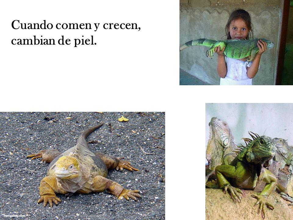 Cuando comen y crecen, cambian de piel.