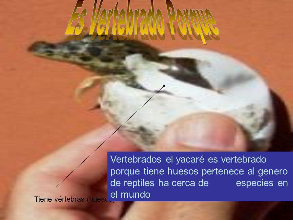 Tiene vértebras (huesos) Vertebrados el yacaré es vertebrado porque tiene huesos pertenece al genero de reptiles ha cerca de especies en el mundo