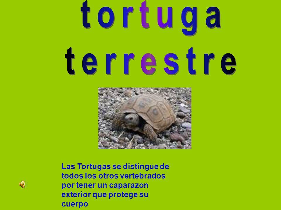 Las Tortugas se distingue de todos los otros vertebrados por tener un caparazon exterior que protege su cuerpo