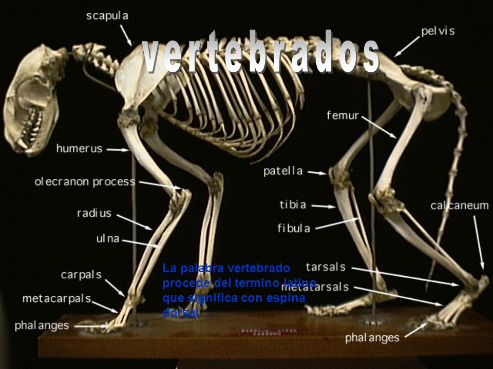 La palabra vertebrado procede del termino latino que significa con espina dorsal