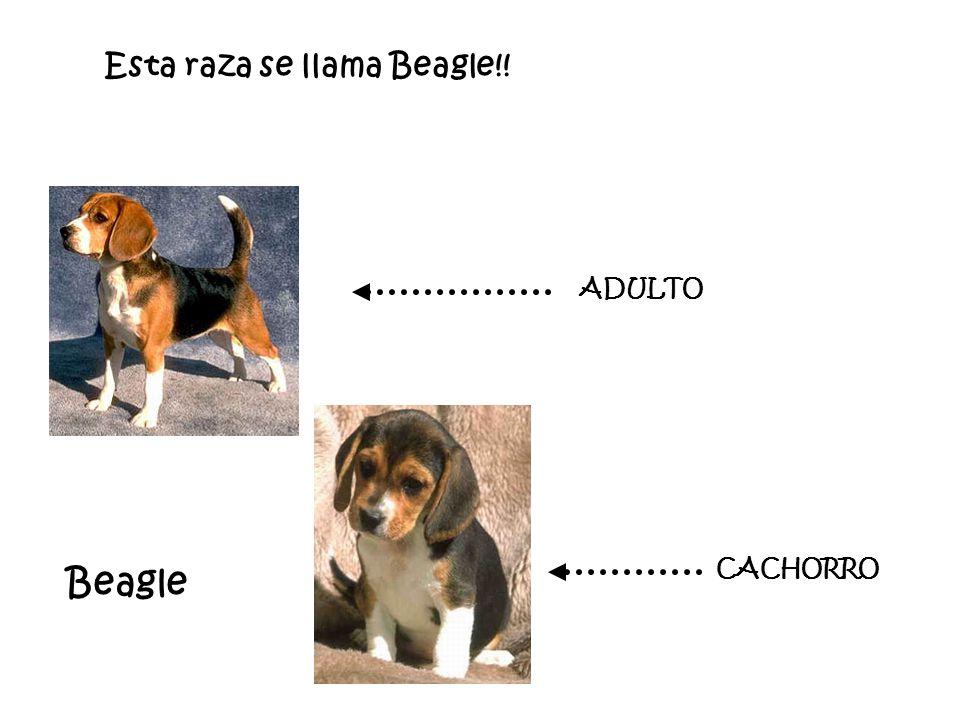 Esta raza se llama Beagle!! CACHORRO ADULTO Beagle