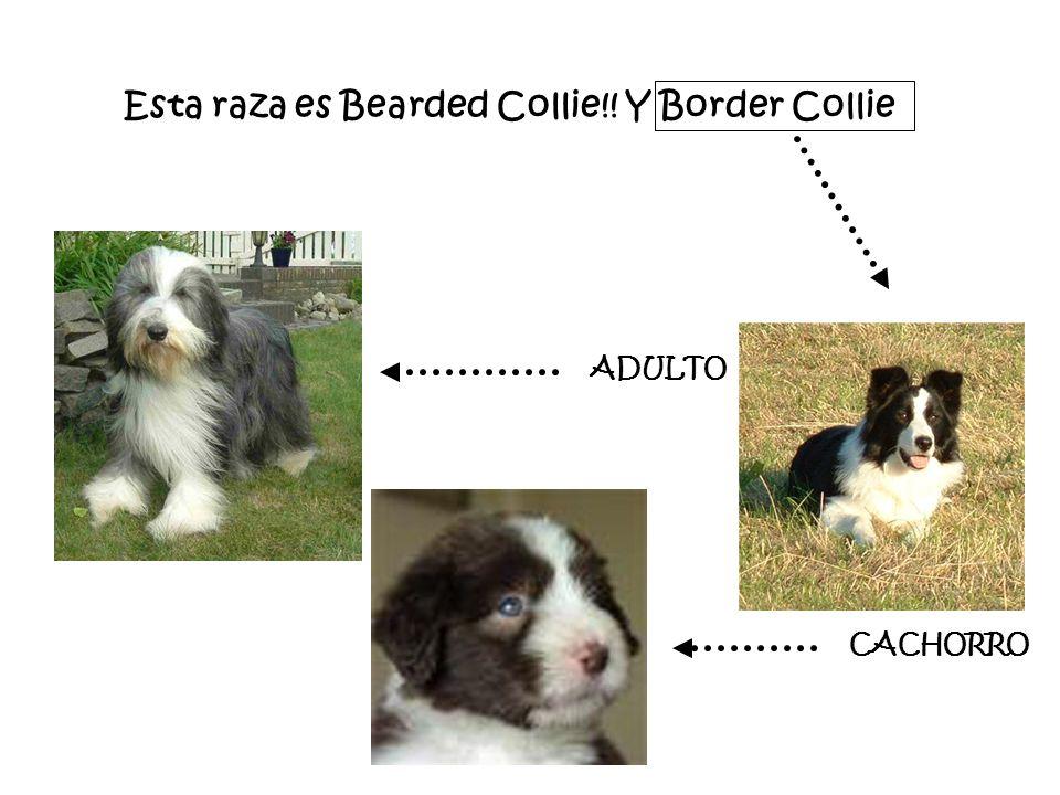 Esta raza es Bearded Collie!! Y Border Collie ADULTO CACHORRO