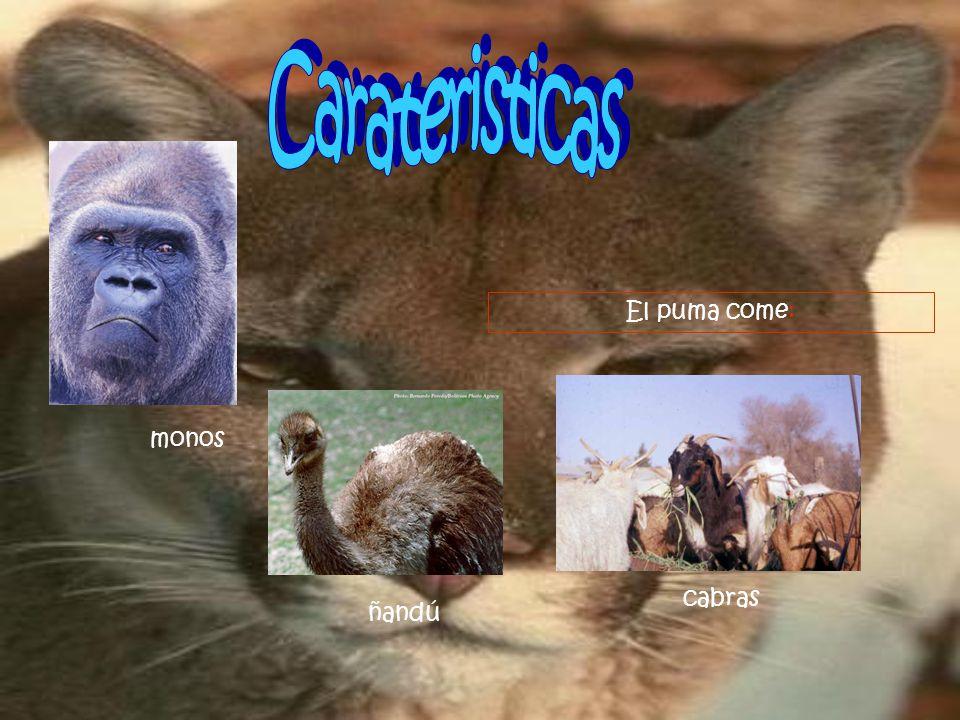 El puma come: monos cabras ñandú