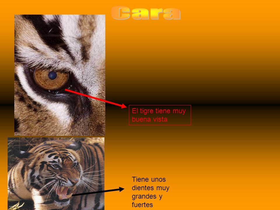 El tigre tiene muy buena vista Tiene unos dientes muy grandes y fuertes