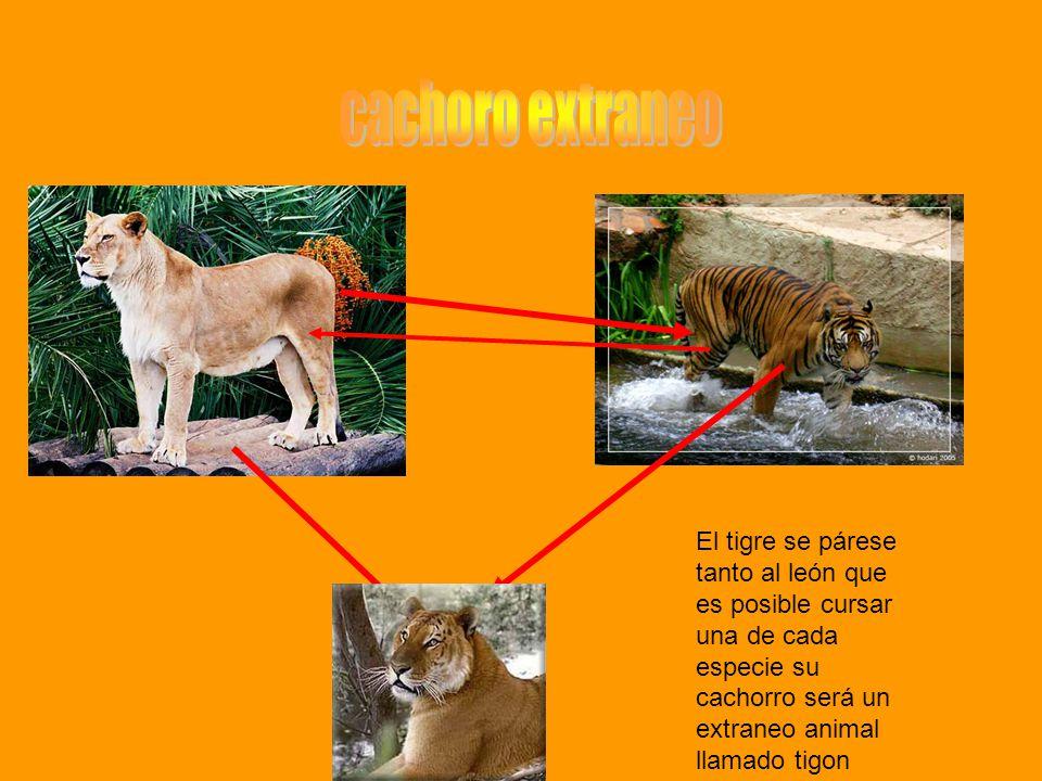 El tigre se párese tanto al león que es posible cursar una de cada especie su cachorro será un extraneo animal llamado tigon