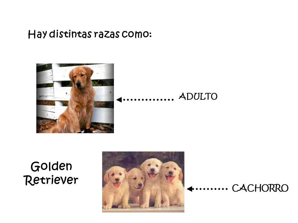 Hay distintas razas como: Golden Retriever ADULTO CACHORRO
