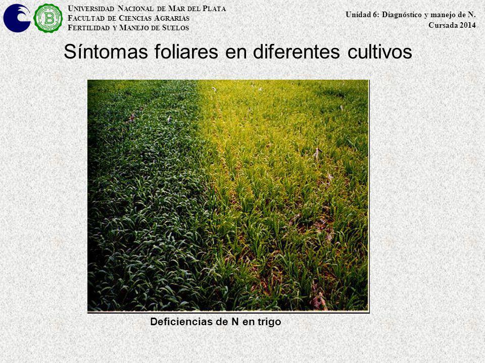 Síntomas foliares en diferentes cultivos Deficiencias de N en trigo U NIVERSIDAD N ACIONAL DE M AR DEL P LATA F ACULTAD DE C IENCIAS A GRARIAS F ERTIL
