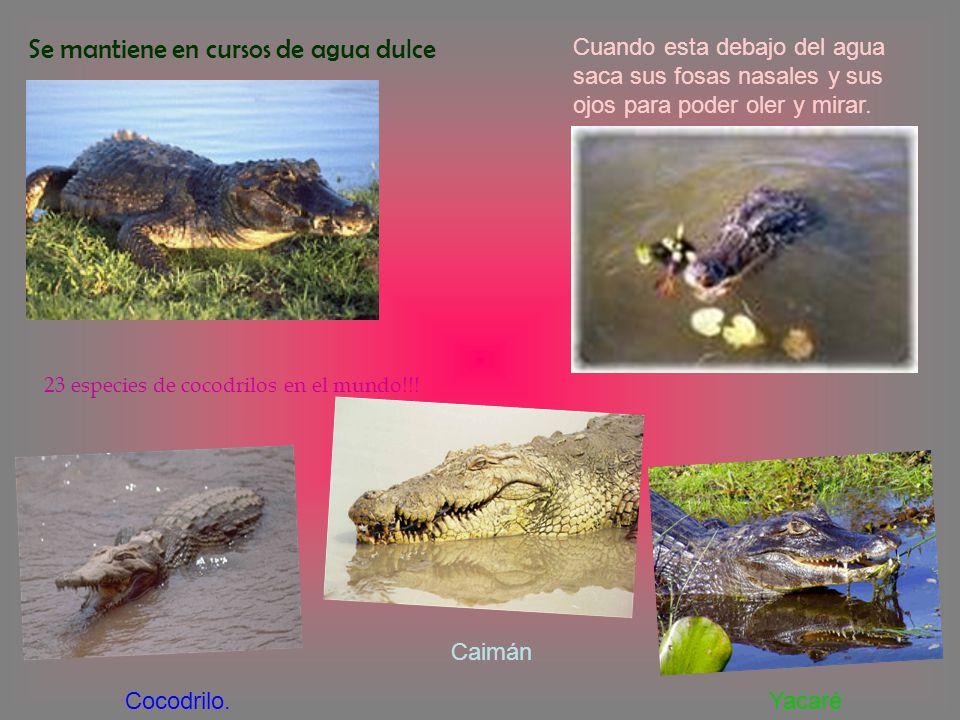 Se mantiene en cursos de agua dulce 23 especies de cocodrilos en el mundo!!! Cocodrilo. Caimán Yacaré Cuando esta debajo del agua saca sus fosas nasal
