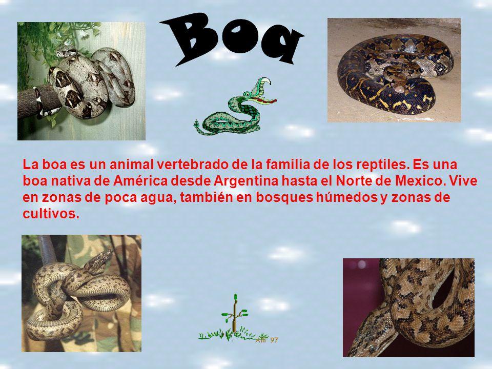 La boa es un animal vertebrado de la familia de los reptiles. Es una boa nativa de América desde Argentina hasta el Norte de Mexico. Vive en zonas de